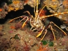 thumbs_langouste-011